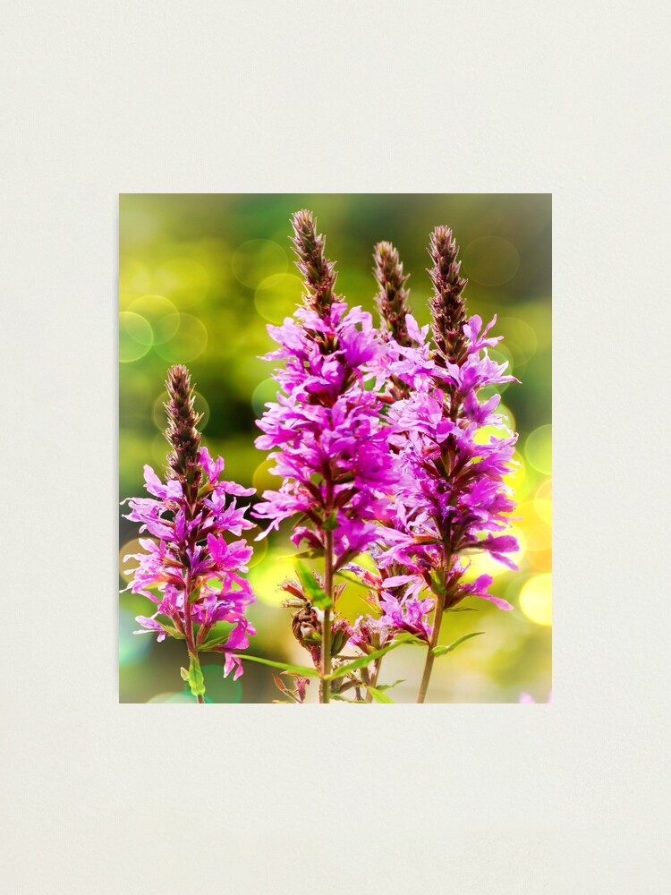 Alternate view of Purple Loosestrife  Photographic Print