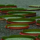 Lily Pad in the Rain by Christian Eccleston