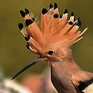 Beautiful Hoopoe Bird With Crown Of Feathers by taiche