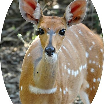 Bushbuck portrait by quentinjlang