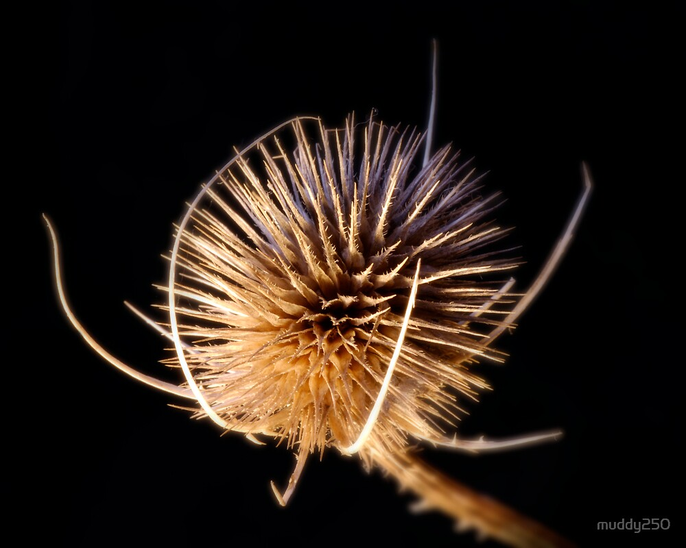 Teasel by Chris Charlesworth