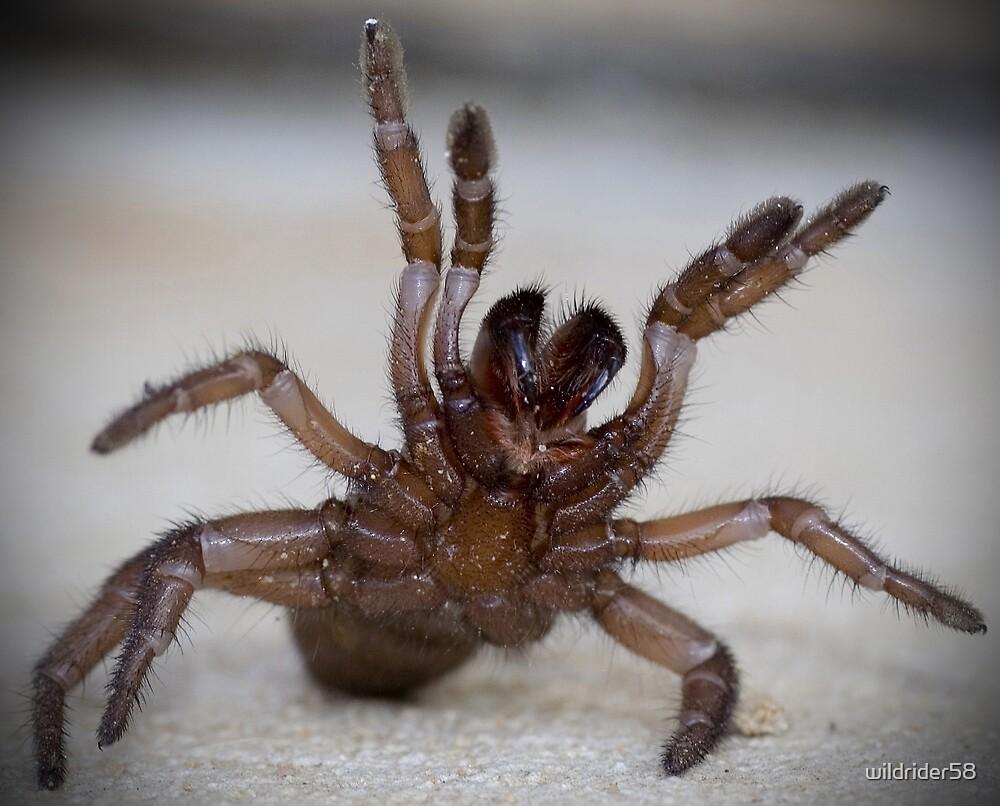 Trapdoor Spider by wildrider58