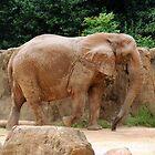 African Elephant by Cynthia48