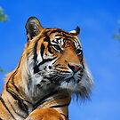 Sumatran Tiger Portrait  by M S Photography/Art