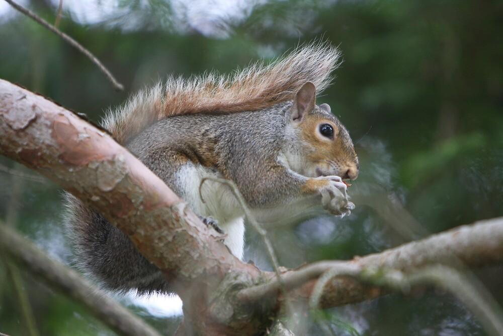 Coal Eyes-Western Grey Squirrel by IanPharesPhoto