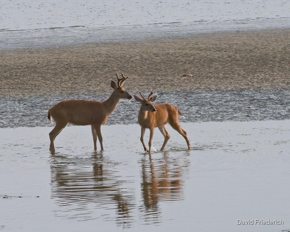 Deer on the Beach by David Friederich