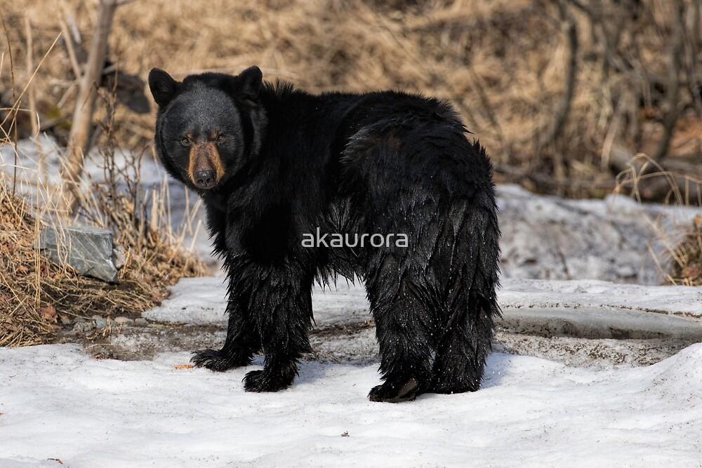 Just A Little Wet - Black Bear  by akaurora