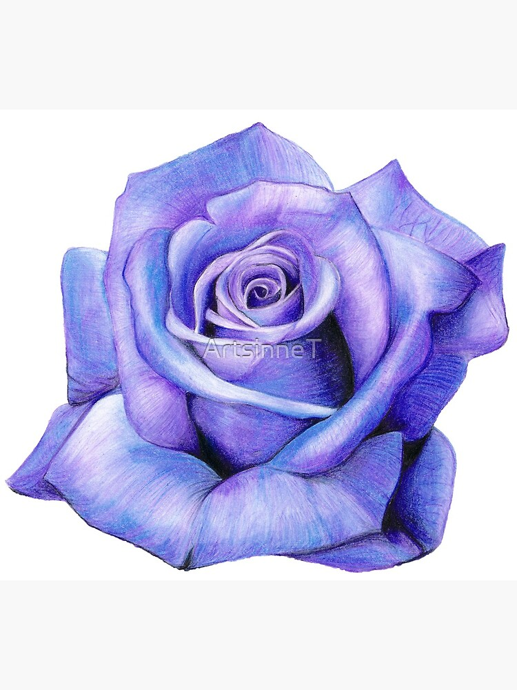 Purple Rose Drawing Postcard By Artsinnet Redbubble