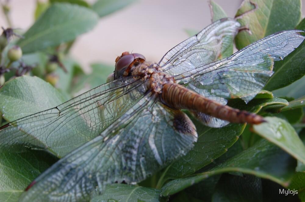 Dragon Fly by Mylojs