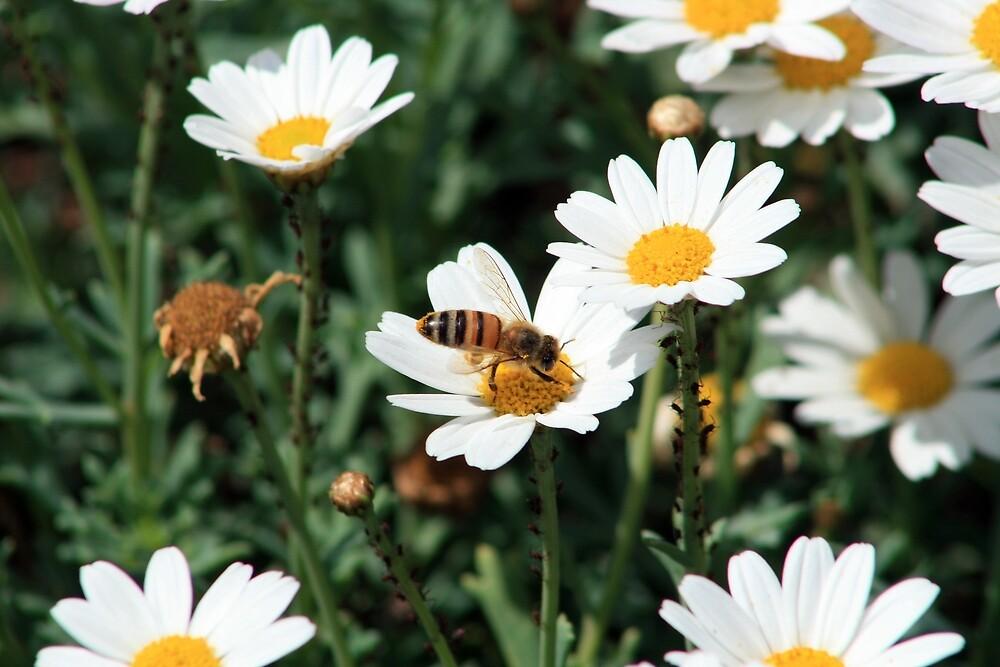 Bee Pollinating Daisy by rhamm