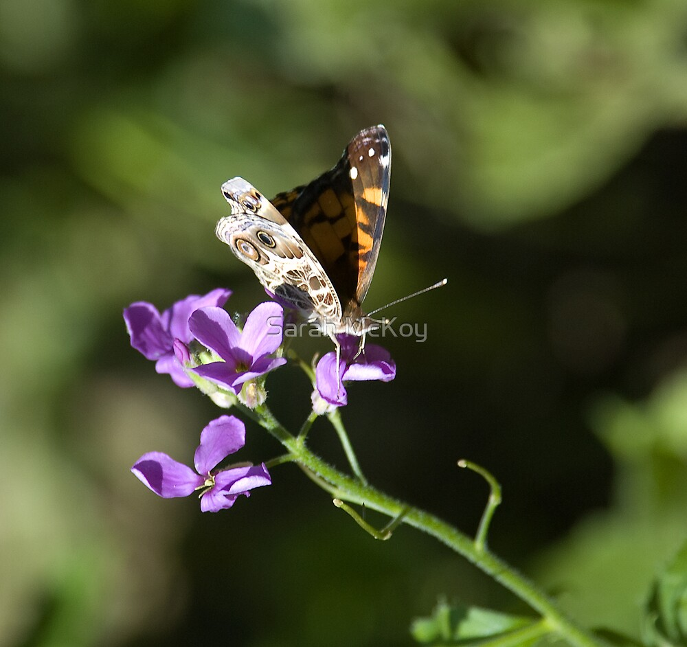Butterfly and Phlox Nectar by Sarah McKoy