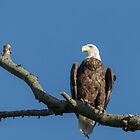 Bald Eagle 2017-2 by Thomas Young