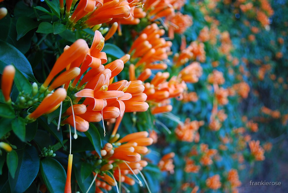 orange bliss - extended by frankierose