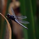 Dragonfly Resting by BigD