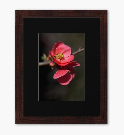 Beautiful Rich Flowering Quince Framed Print