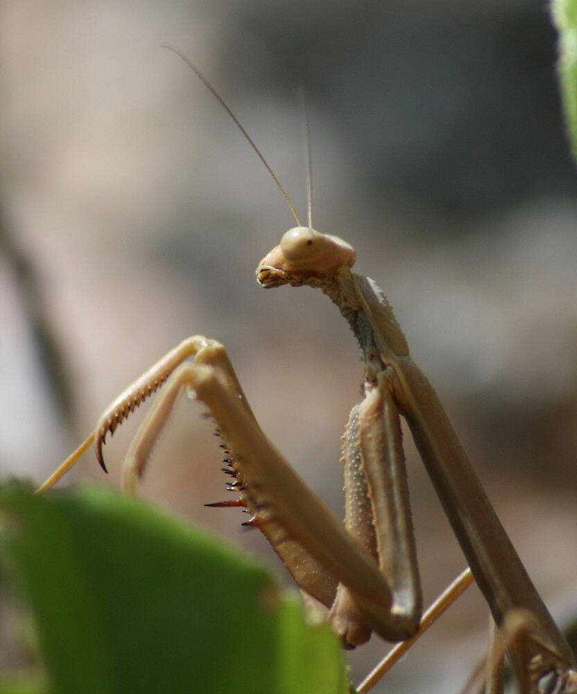 Praying Mantis - Side On by Jason Scott