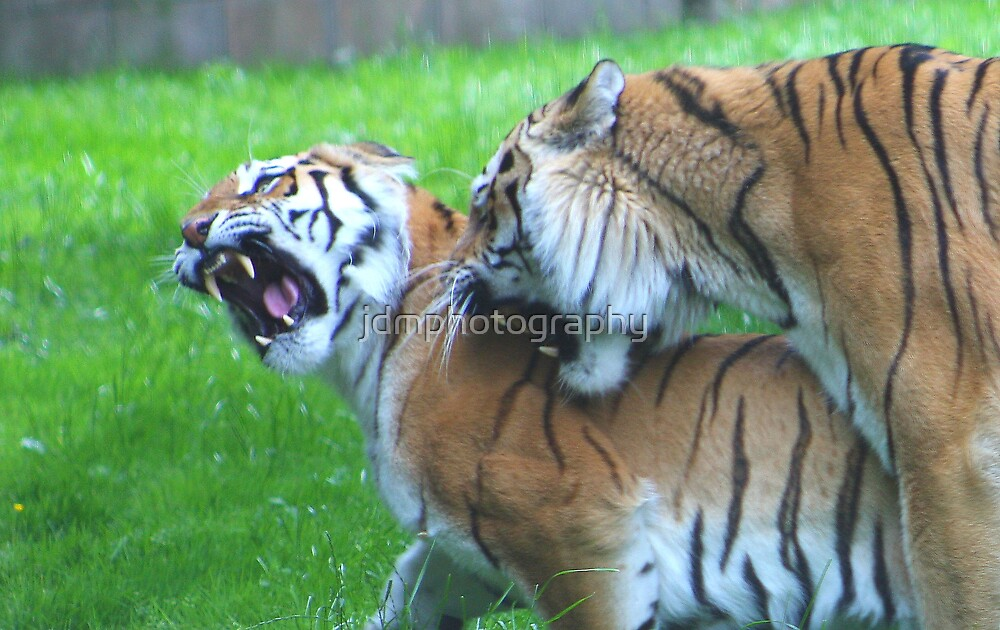 Keep back......... (Tiger action) by jdmphotography