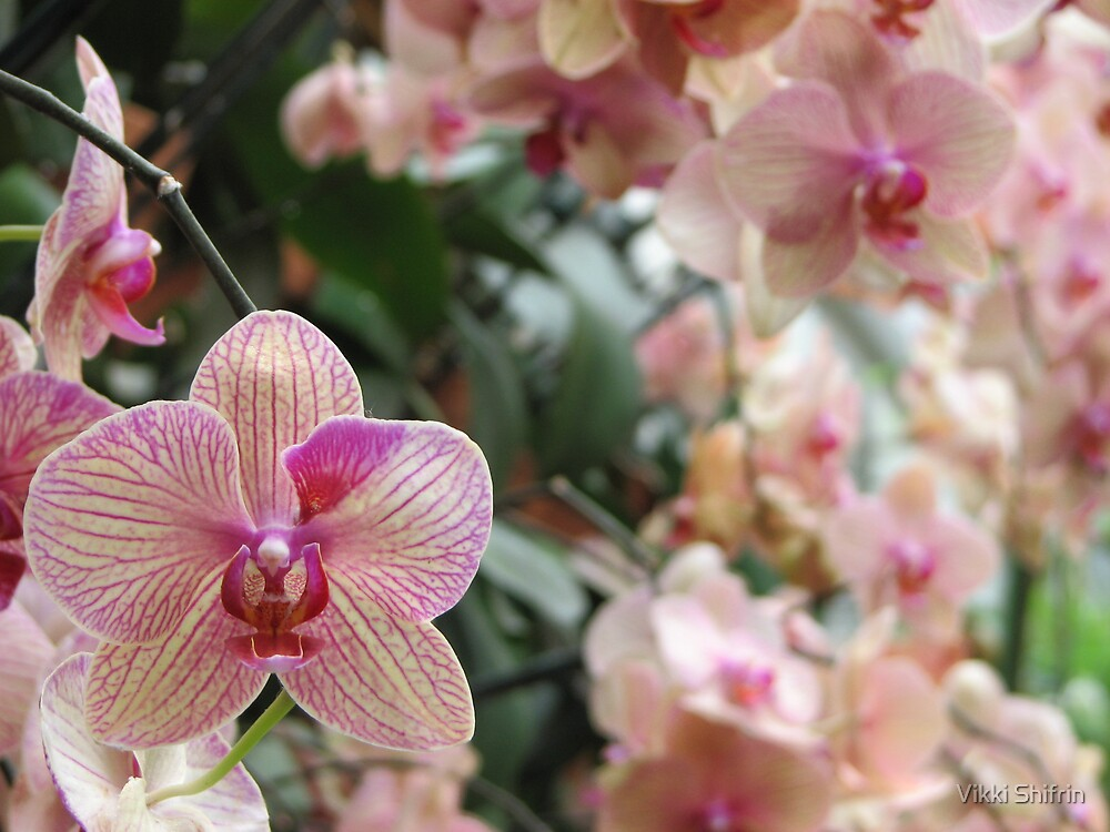 Pink Orchid by Vikki Shifrin