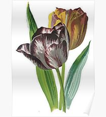 Tulip Vector on White Background Poster