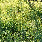 Flower celandine growing by OlgaBerlet