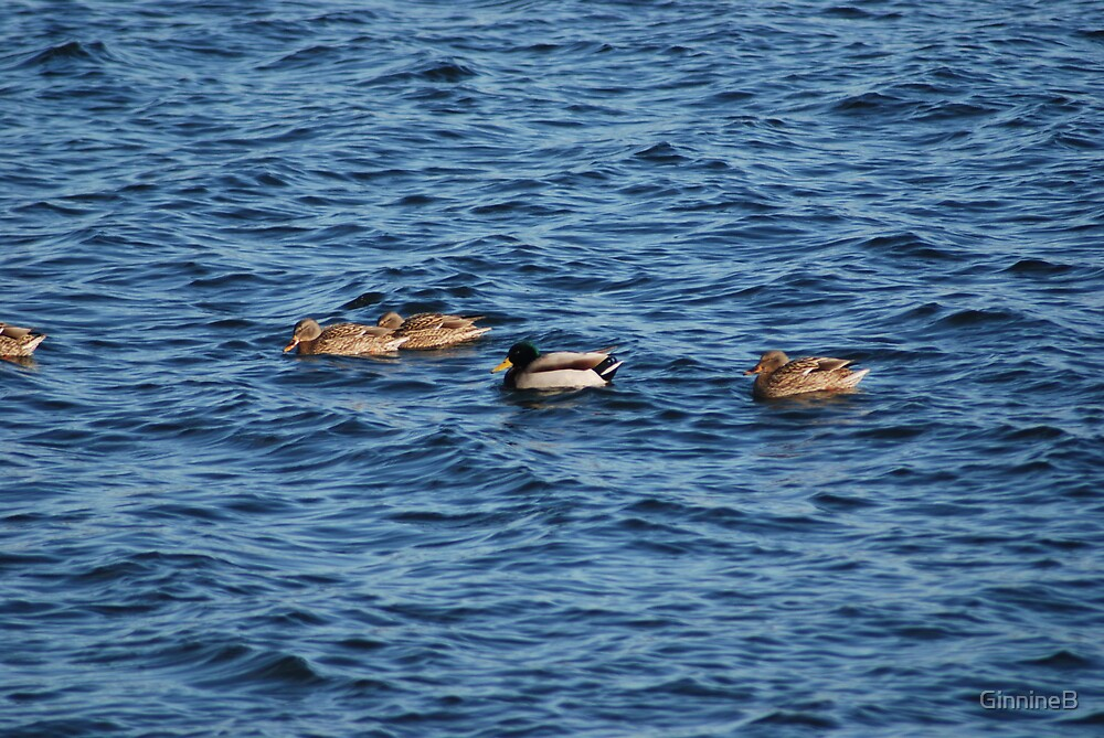 Ducks in Belfast, Maine by GinnineB