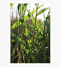 nature leaves Sunny day vivid green reeds Photographic Print