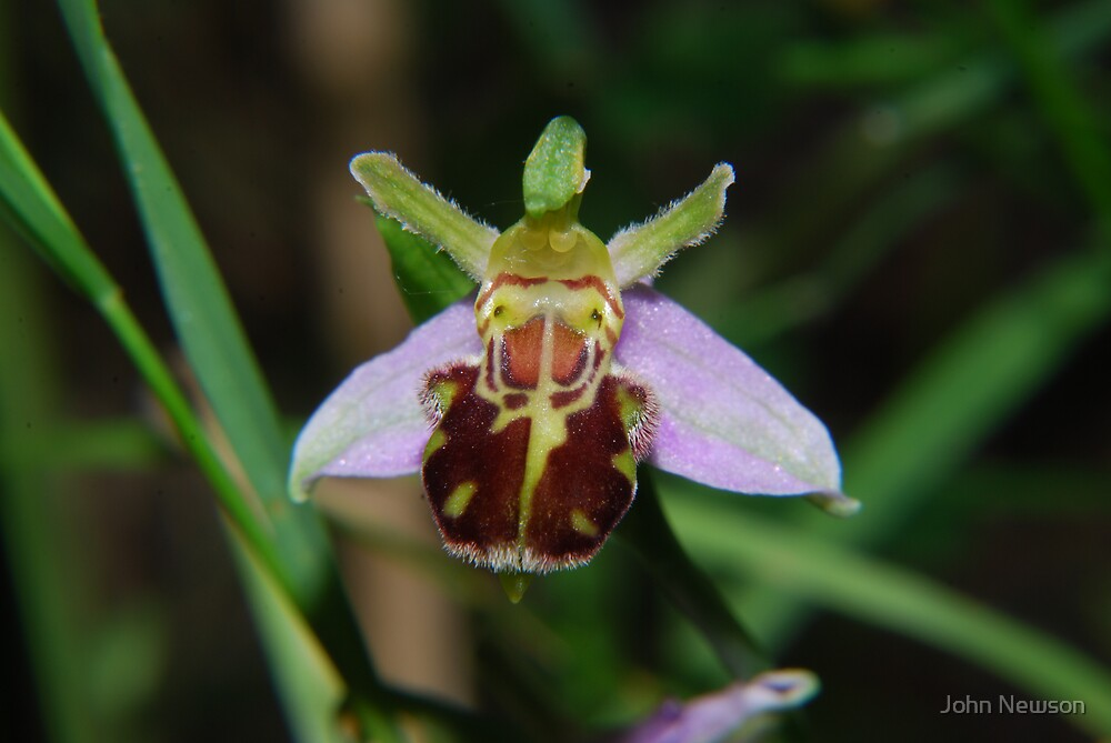Bee Orchid At Lackford Lakes by John Newson