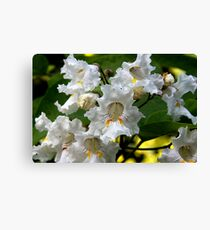 Catalpa in Bloom Canvas Print