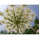 Wild carrot - Daucus carota. Stunningly pretty flowers by Wildplant-guide