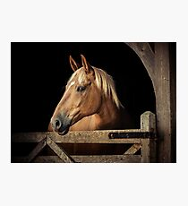 Suffolk Punch Horse Photographic Print
