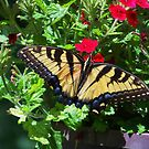 Female Eastern Tiger Swallowtail by James Brotherton