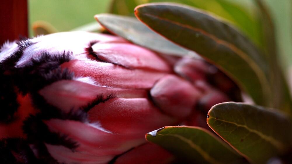 Protea by JulesVandermaat