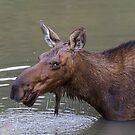 Female Moose Head Shot by Bo Insogna