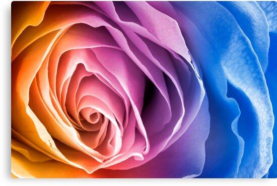 Rainbow Rose Macro by Nicolas Raymond