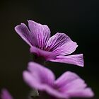 Pink flower on Ile de Batz by MichaelBr