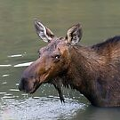 Female Moose Head by Bo Insogna