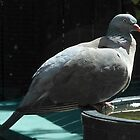 Sitting Pretty - Wood Pigeon by EasterDaffodil