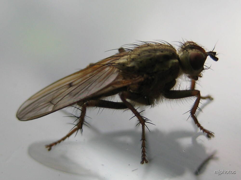 Macro fly by mjphotos