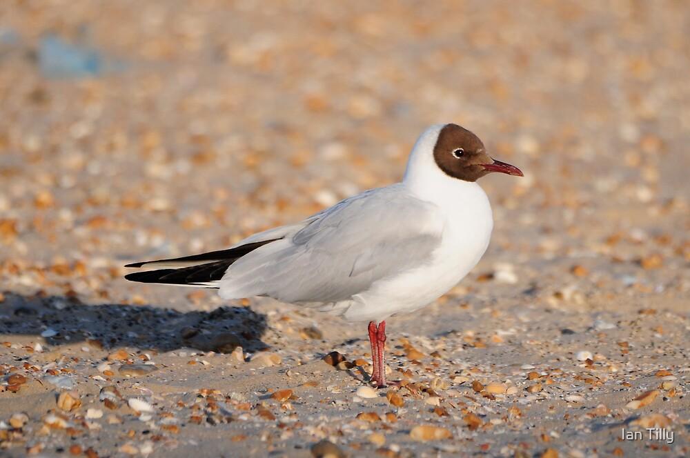 Black Headed Gull by Ian Tilly