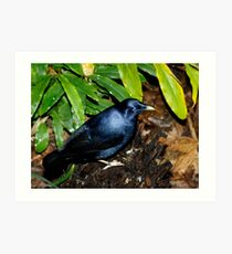 Satin Bower Bird Art Print
