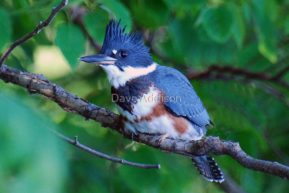 """"""" Kingfisher - Poised """" by Dave Addison"""