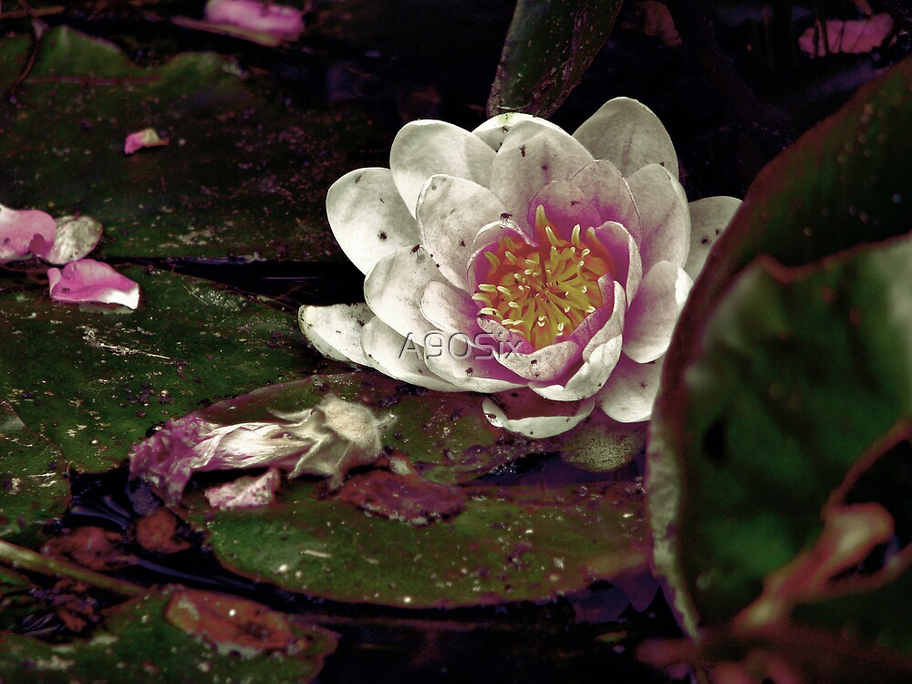The Waterlily in my Pond by A90Six