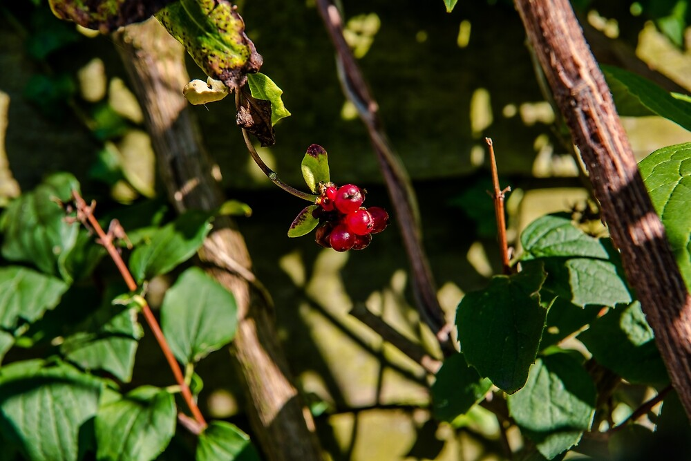 Red Berry by James Galler