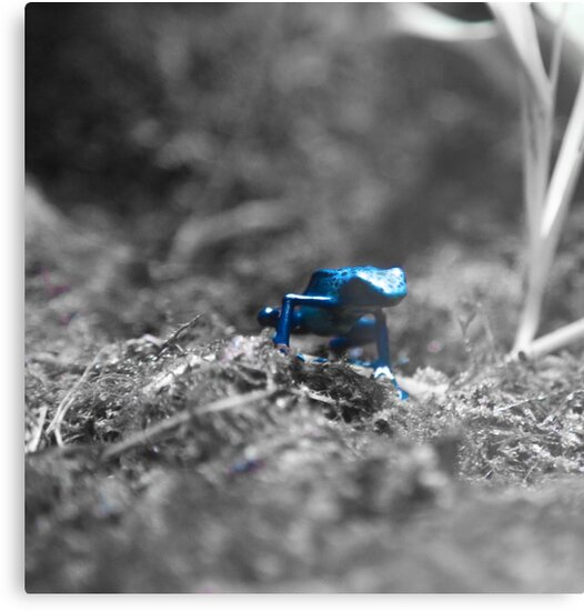 Poisonous blue frog by Fike2308