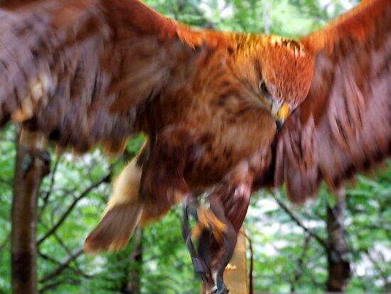 Falcon by John Douglas