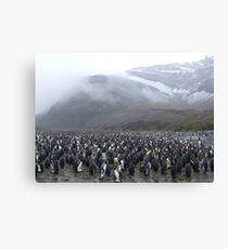 King Penguin Rookery Canvas Print