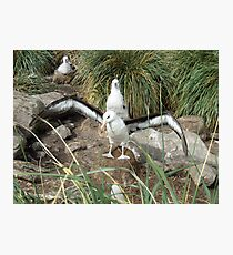 Black Browed Albatross Photographic Print