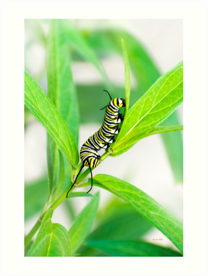 Monarch Caterpillar Close Up by Christina Rollo