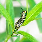 Monarch Caterpillar Close Up by Christina Rollo