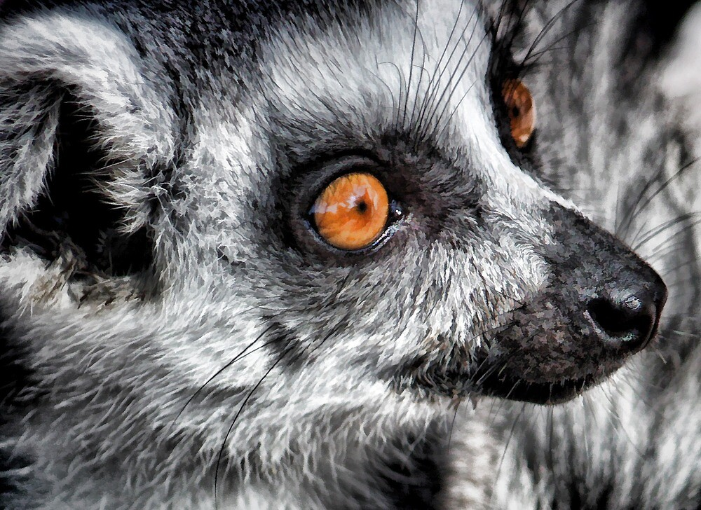 Lemur Up Close by HHPhotographyFL